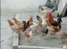 جاج بلدي ومزارع بياض للبيع