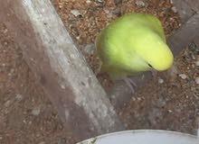 طيور الحب 3 زواج 45 الف