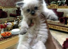 قطة اللبيع  معة ورقة صحية  عمر 3 سابيع