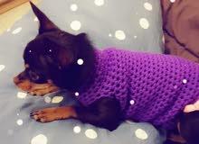 1 year old Female Chihuahua