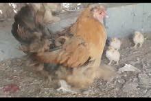 دجاجة هولندي العملاق مع 8 صيصان مالها