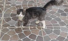 قط صغير
