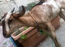 local female goat brown and white