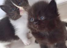 قطة شيرازي باندا انثى قابل للتفاوض.........