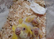 latino Quaker chicks