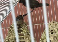 للبيع طيور 2