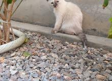 قطط جميلة صغيرة للبيع