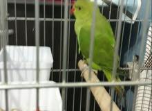 cute parrot  for sale