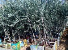 اشجار زيتون نبالي محسن بلدي