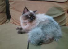 قطه هجين سيامي وفارسي للبيع