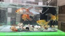 سمك هو وحوضه للبيع فوول مواصفات مع سمكة المنضف