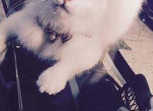 قطة شيرازي السعر 175