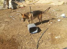 للبيع كلب جيرمن ذكر عمرو 6شهور