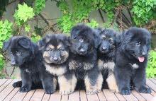 Long coat German Shepherd puppies available