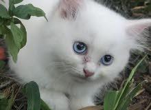 cat for sale قطط للبيع