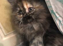 قطط برتش  استريت وبيكي فيس