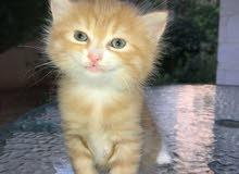 قطه انثى نوع شانشيلا مكس العمر 4 شهور