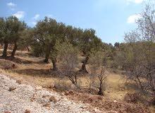 جرش - مزرعة زيتون 4 دونم في برما الخشيبة