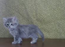 زوج قطط صغيره