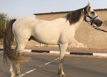 حصان عربي - واهو
