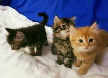 3cats)(Shirazi)(French)VIP(chocolate)7StarsVIP(Moon(Her(British)VIP