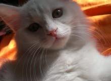 قطة بيضاء شيرازية لعوبة للبيع