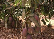 مزرعه 16 فدان منتجه للبيع