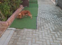 cocker dog for sale