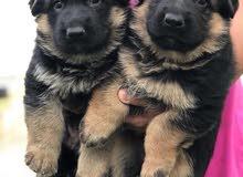 pedigree + top german shepherd puppies