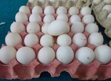 بيض بط و دجاج محلي