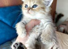 chinchilla gold tabby male kitten