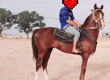 حصان للبيع نص دم عمره سته سنوات حصان طايب رقم الهاتف0928363242السعر 6500