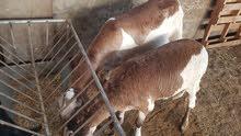 sheep female