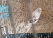 عصافير البادجي او(الباقلينو)