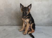 German shepherd pure