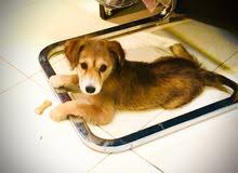 Carolina breed dog female puppy