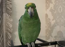 للبيع امازون Amazon parrot