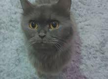 قطط للبيع ذكر وانثى شيرازي
