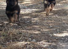 جوز كلاب للبيع