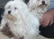 كلب تيريرا فحل عمر 3 اشهر ملحق ومجرع وقزم وسعر سرح وصوره وصور دفتر اللقاح موجوده