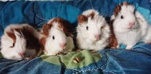 guina pigs