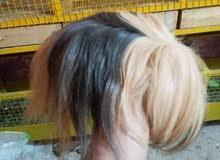 ارانب غينيه سعر زوج 150 شعر طويل فول