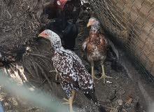 دجاج نوع باكستاني اصل بلجمله