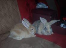 أرانب هولنديات