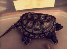 سلحفاة سلاحف نهاشة common snapping turtle