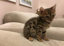 baby bengal cats for sale. قطط بنغال للبيع