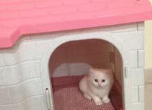 قطط صغيره للبيع شيرازيه