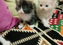 قطط شيرازي الوان متنوعه