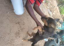 كلب وولف جنوب افريقيا