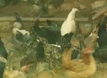 دجاج عربي ادحي
